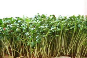 watercress-growing