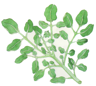 watercress-herb