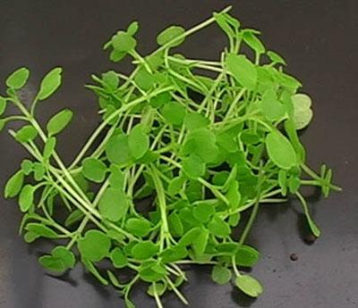 watercress-herbs